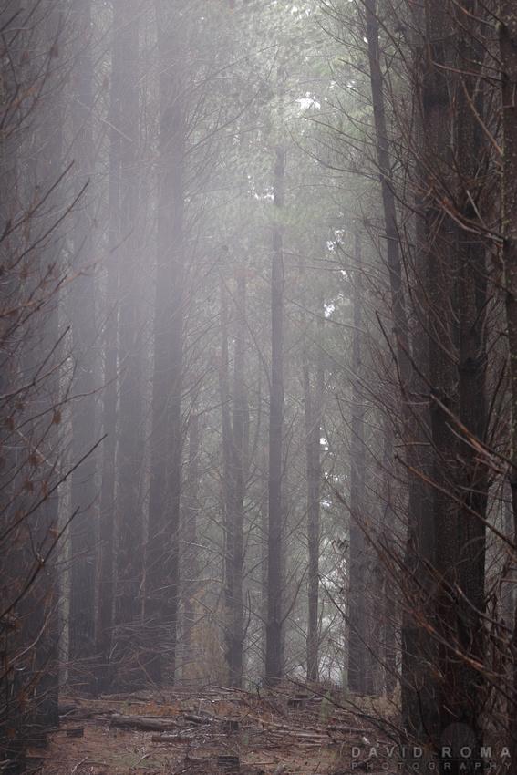 Misty Forest - Yetholme, NSW, Australia