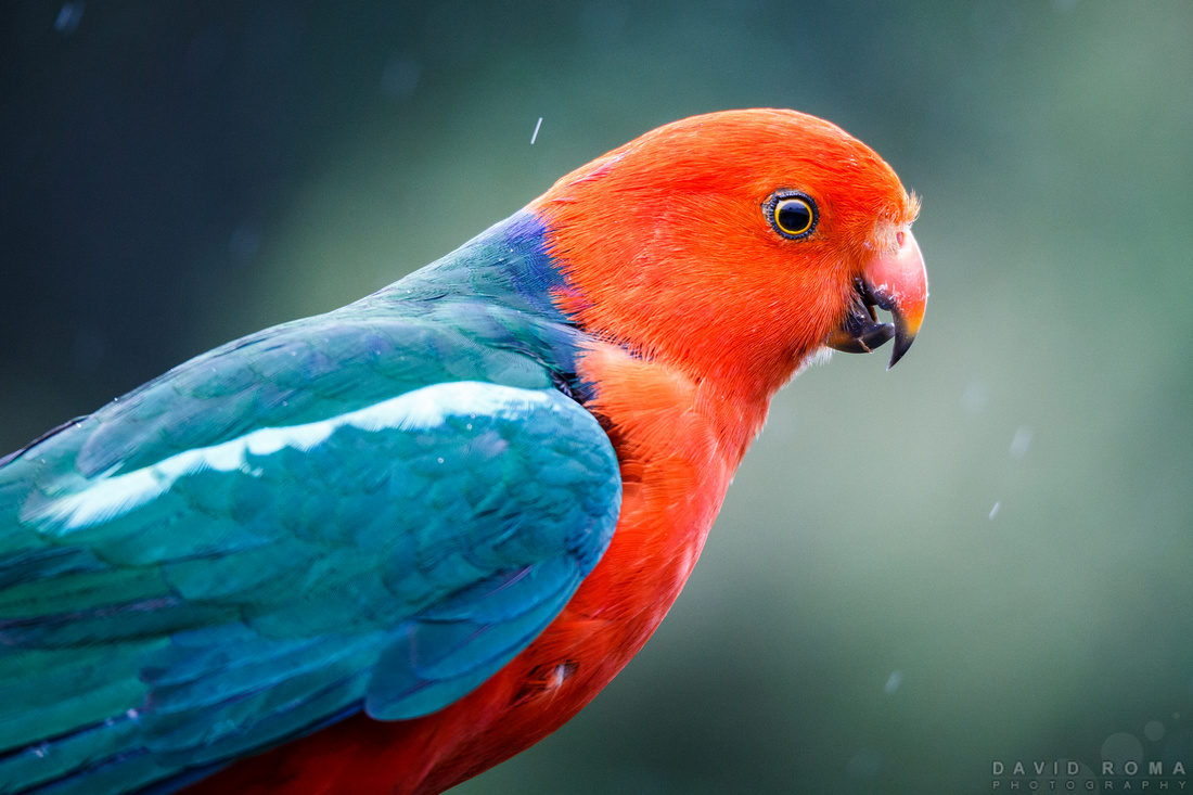King Parrot - O'Reilly's, Lamington National Park, QLD, Australia