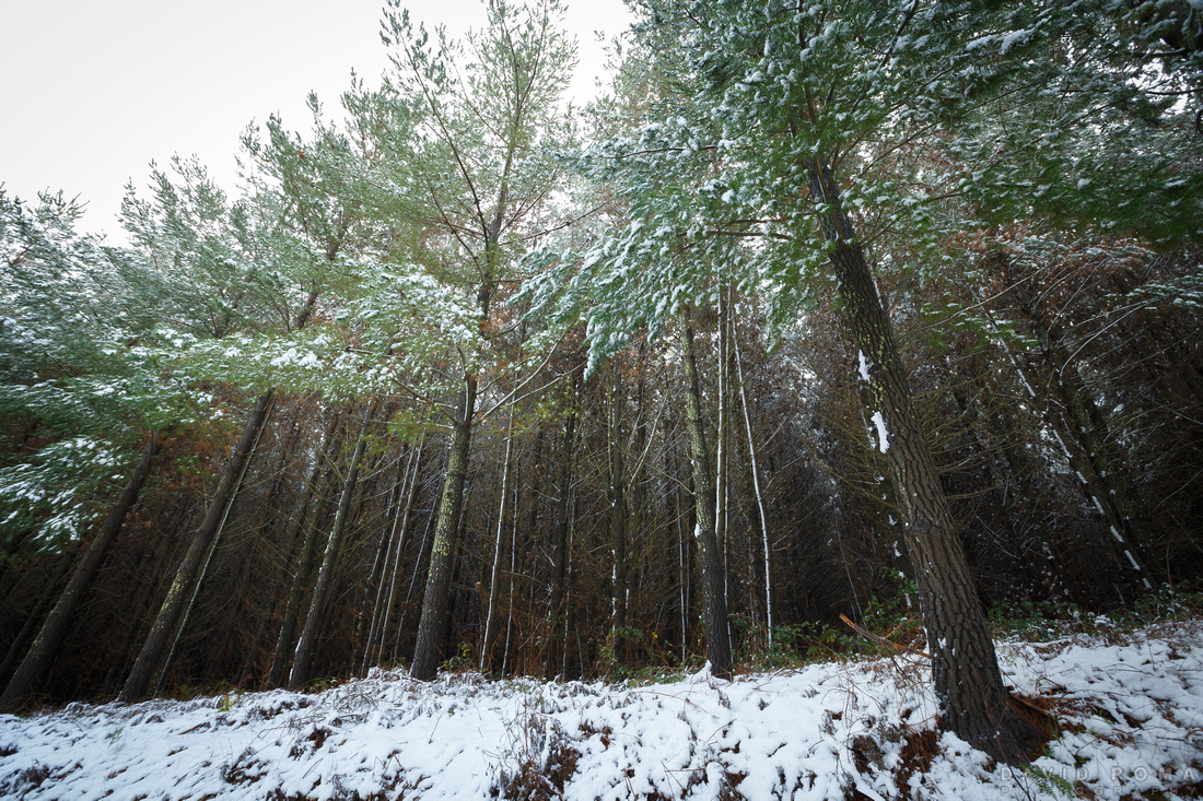 Snowy pine forest mt canobolas