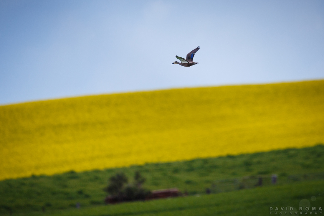 Duck in flight over Canola