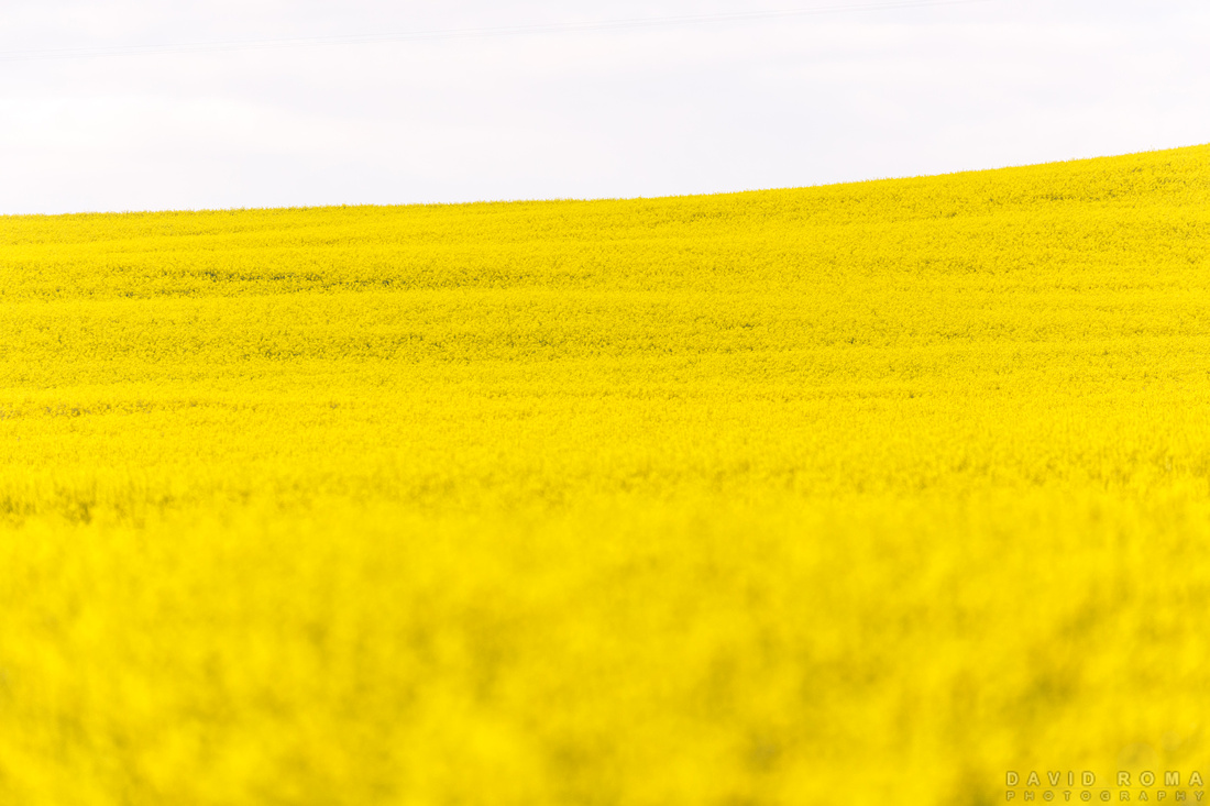 Fields of Gold - Cowra, NSW, Australia