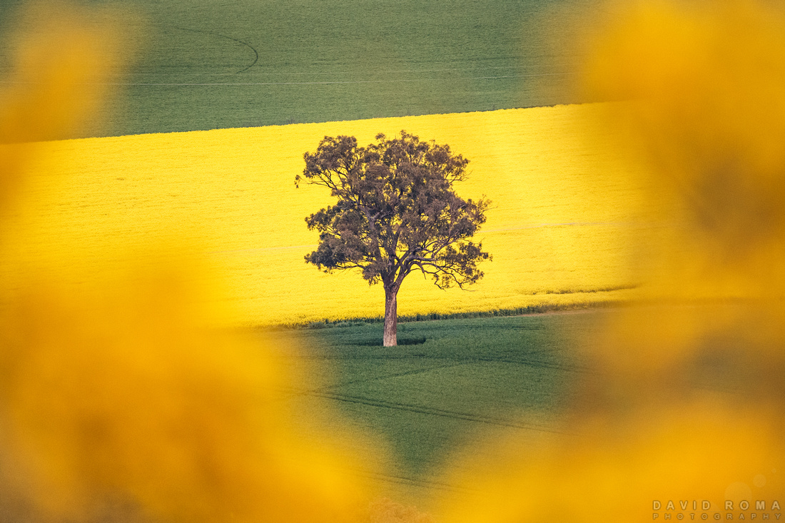 Golden Tree - Cowra, NSW, Australia