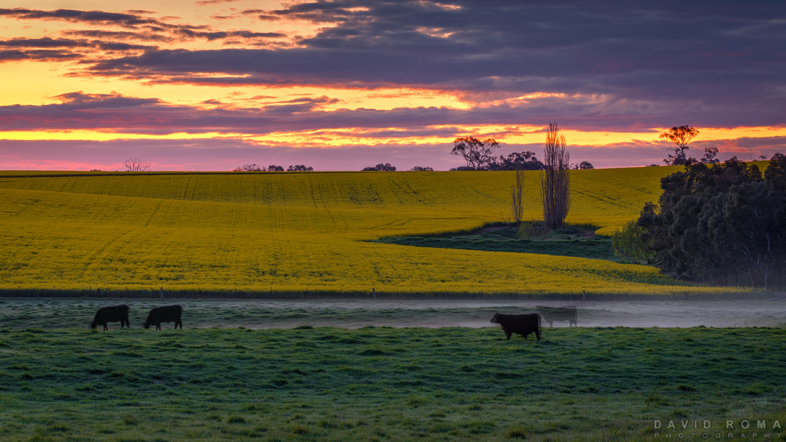 Golden calf - Cowra, NSW, Australia