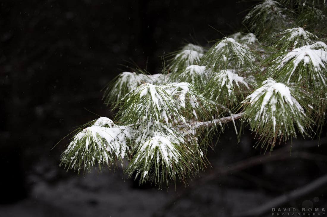 Snow draped pine