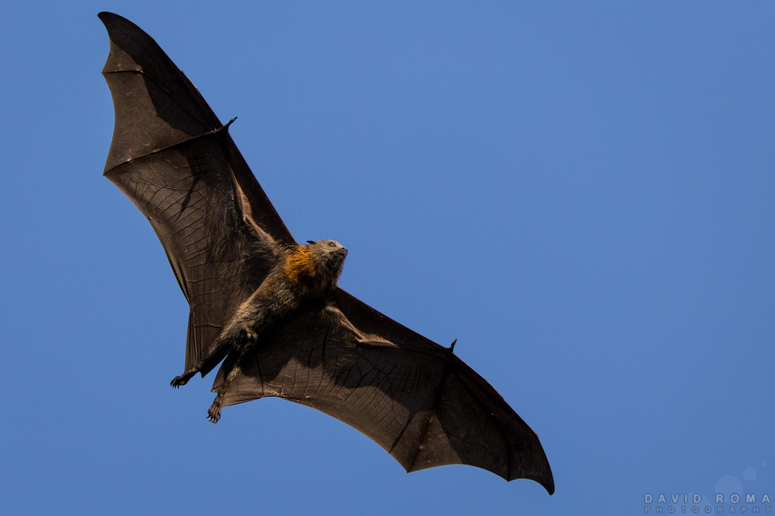 Buff Bat