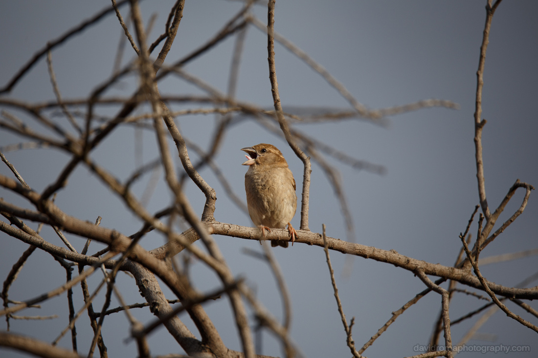 Sigma 150-600mm - Sparrow with front lit by afternoon sun. Amazing image quality