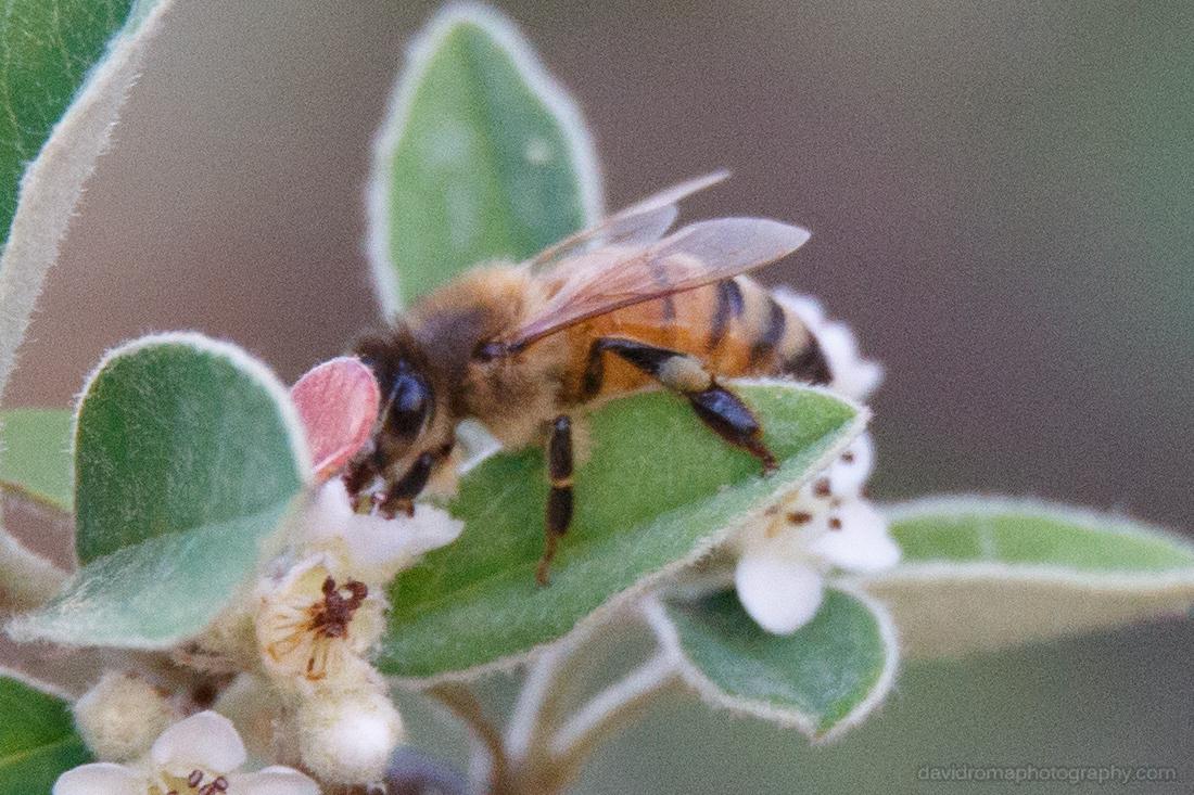 100% crop of Sigma 150-600mm - Honey Bee macro test