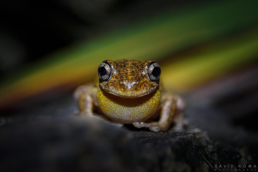 Smile! - Peron's tree frog (Litoria peronii)